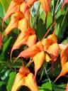 Masdevallia ignea x falcata, orchid hybrid, grown outdoors in Pacifica, California