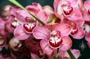 Cymbidium flowers and leaf, Cymbidium Finger of Suspicion, orchid hybrid, Pacific Orchid Expo 2014, San Francisco