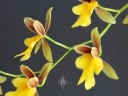 Mexicoa ghiesbreghtiana, orchid species, Oncidium family, fragrant flowers, Pacifica, California