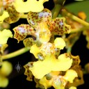 Trichocentrum bicallosum, orchid species, Pacific Orchid Expo 2014, San Francisco