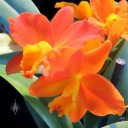 Guarisophleya Sierra Gem 'Old Gold', Cattleya orchid hybrid, Pacific Orchid Expo 2014, San Francisco