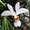 Holcoglossum wangii, orchid species flower, at Orchids in the Park 2013, San Francisco