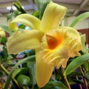 Sobralia xantholeuca 'Terrys Favorite' x Sobralia leuceola, orchid hybrid, displayed at San Francisco Orchid Society meeting, Aug. 2013