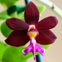 Trichoglottis philippinensis, orchid species flower, at Orchids in the Park 2013, San Francisco