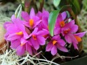 Dendrobium Hibiki, miniature orchid hybrid, Orchids in the Park 2014 at Hall of Flowers, Golden Gate Park, San Francisco