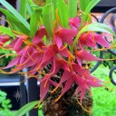 Masdevallia roseola, orchid species, Orchids in the Park 2014, Hall of Flowers, Golden Gate Park, San Francisco