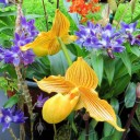Yellow Paphiopedilum, or Lady Slipper, with blue Dendrobium and orange Epidendrum in background Orchids in the Park 2014, Hall of Flowers, Golden Gate Park, San Francisco