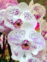 Moth Orchids, Phalaenopsis flowers, orchid hybrid, Orchids in the Park 2014, Hall of Flowers, Golden Gate Park, San Francisco