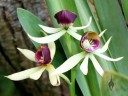 Prosthechea cochleata or Encyclia cochleata, Clamshell Orchid, orchid species, in bloom at Foster Botanical Garden, Honolulu, Hawaii