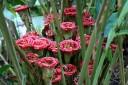 Etlingera cornerii, Rose of Siam, Lyon Arboretum, Honolulu, Hawaii