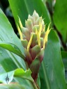 Green and yellow ginger flower, Lyon Arboretum, Honolulu, Hawaii