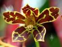 Grammatophyllum scriptum, Leopard Orchid, in bloom at Foster Botanical Garden, Honolulu, Hawaii
