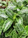 Calathea, Maranta Prayer Plant at Lyon Arboretum, Honolulu, Hawaii