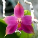 Phalaenopsis violacea indigo blue x self, Moth Orchid, in bloom at Foster Botanical Garden, Honolulu, Hawaii