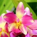 Spathoglottis hybrid orchid in bloom at Foster Botanical Garden, Honolulu, Hawaii