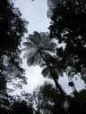 Tall tree fern in forest canopy at Lyon Arboretum, Honolulu, Hawaii