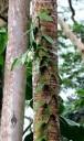 Vanilla planifolia vine growing up tree, Lyon Arboretum, Honolulu, Hawaii
