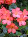 Vireya Rhododendron flowers, at Lyon Arboretum, Honolulu, Hawaii