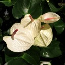 White Anthurium, Moana Surfrider Resort lobby, Honolulu, Hawaii