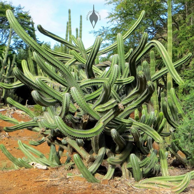 ... Hawaii Contorted Cactus, Koko Crater Botanical Garden, Honolulu, Hawaii