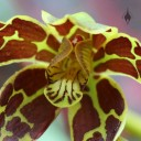 Grammatophyllum scriptum, Leopard Orchid, orchid species, flower close up at Foster Botanical Garden, Honolulu, Hawaii
