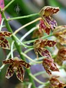 Grammatophyllum scriptum, Leopard Orchid, orchid species flowers at Foster Botanical Garden, Honolulu, Hawaii