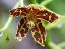 Grammatophyllum scriptum, Leopard Orchid, orchid species flower with water drops at Foster Botanical Garden, Honolulu, Hawaii