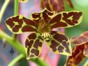 Grammatophyllum scriptum, Leopard Orchid, orchid species, in flower at Foster Botanical Garden, Honolulu, Hawaii