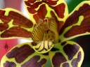 Grammatophyllum scriptum, Leopard Orchid, orchid species, flower close up at Foster Botanical Garden, Honolulu, Hawaii