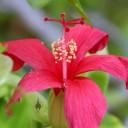 Hibiscus newhousei native to Kauai, Hawaiian endemic, Koki'o 'ula, Koko Crater Botanical Garden, Honolulu, Hawaii
