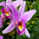 Laelia anceps, orchid species, grown outdoors in San Francisco, California, traditonally placed on graves on the Day of the Dead in Mexico