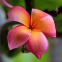 Pink and yellow Plumeria hybrid, Frangipani, Koko Crater Botanical Garden, Honolulu, Hawaii