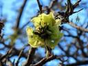 Wiliwili flowers, Erythrina sandwicensis, Hawaiian native endemic, Koko Crater Botanical Garden, Honolulu, Hawaii