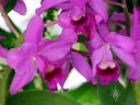 Cattleya orchid, purple flowers, Foster Botanical Garden, Honolulu, Hawaii