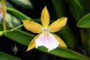 Miltonia flower, yellow with white and purple flower lip, Foster Botanical Garden, Honolulu, Hawaii