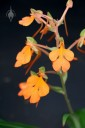 Habenaria rhodocheila, Orchids in the Park 2014, San Francisco, California, orchid species with orange flowers