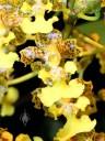 Trichocentrum bicallosum, orchid species in Oncidium family, yellow flower, Pacific Orchid Expo 2014, San Francisco, California