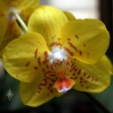 Phalaenopsis flower, Moth Orchid hybrid, yellow orange and red flower, Orchid Mania Greenhouse, San Francisco, California