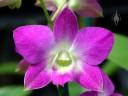 Phalaenopsis-type Dendrobium hybrid, pink and white flower, Kawamoto Orchid Nursery, Honolulu, Hawaii