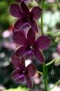 Phalaenopsis-type Dendrobium hybrid, dark purple flowers, Hawaii Tropical Botanical Garden, Papaikou, Hawaii