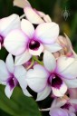 Phalaenopsis-type Dendrobium hybrid, purple and white flowers, Orchids in the Park 2013, San Francisco, California