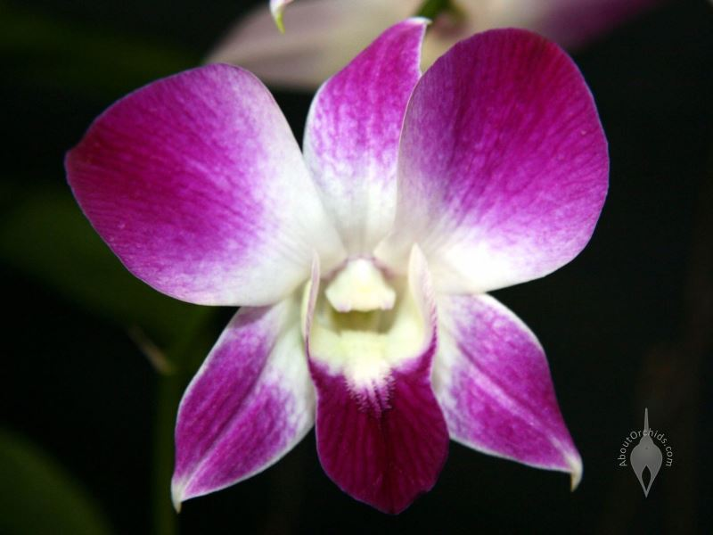 Hawaii Phalaenopsis Type Dendrobium Hybrid Purple And White Flower Pacific Orchid Expo 2008