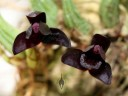 Brasiliorchis schunkeana, orchid species with black flowers, Pacific Orchid Expo 2014, San Francisco, California