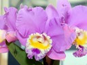 Cattleya hybrid, purple yellow and white flower, Pacific Orchid Expo 2014, San Francisco, California