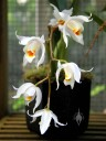 Coelogyne, yellow red and white orchid flower, Conservatory of Flowers, San Francisco, California
