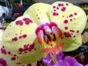 Harlequin Phalaenopsis hybrid, yellow pink and purple Moth Orchid flower, Kapiolani Farmers Market, Honolulu, Hawaii