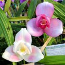Lycaste Nagai International 'Spring Blush' and Lycaste Murasakino 'Motor City', orchid hybrids with pink and white flowers, Pacific Orchid Expo 2014, San Francisco, California