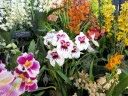 Miltonias, Cymbidiums, Oncidiums, and other orchids on display at Pacific Orchid Expo 2014, San Francisco, California