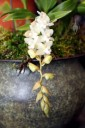Pholidota chinensis, orchid species with white flowers, Pacific Orchid Expo 2014, San Francisco, California