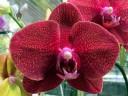 Phalaenopsis hybrid, Moth Orchid flower, Kawamoto Orchid Nursery, Honolulu, Hawaii